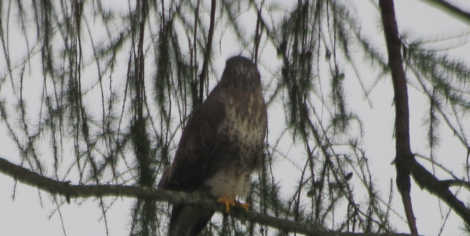 Buzzard in a Tree near the house