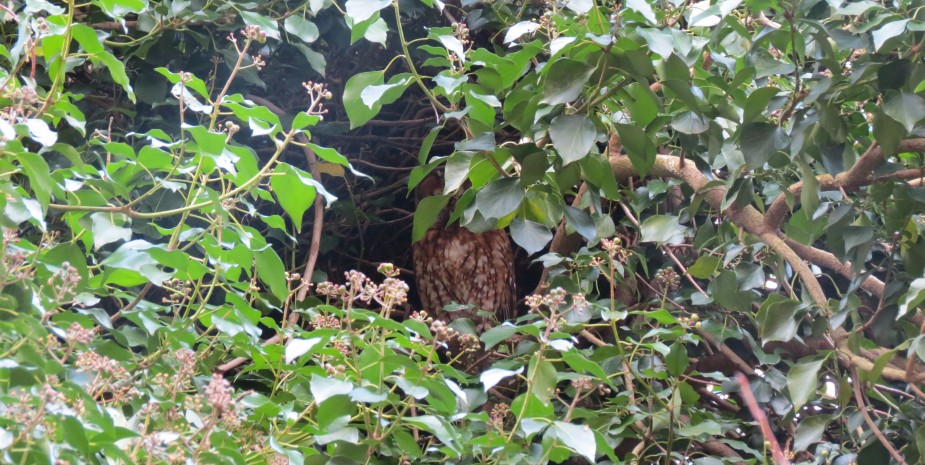 Owl in the old Beech tree in the Garden
