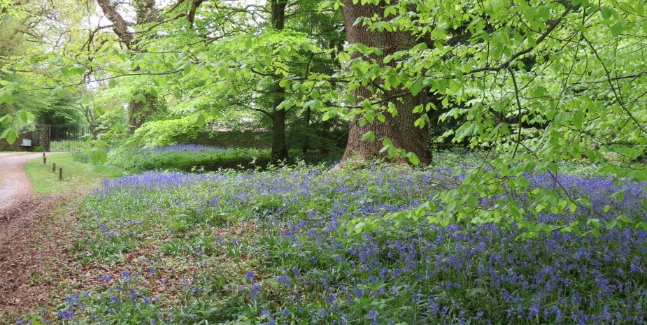 Bluebells at the top of the garden