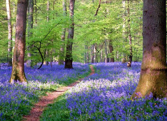 Soudley Bluebell woods