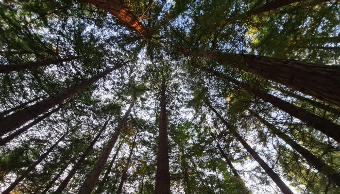 Redwood Grove Forest of Dean